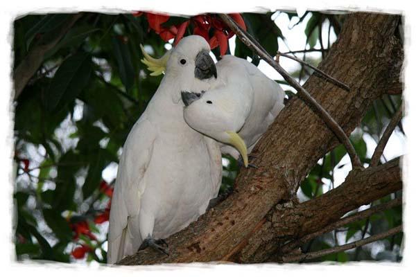 papagayo-blanco-crecimiento-cria-02