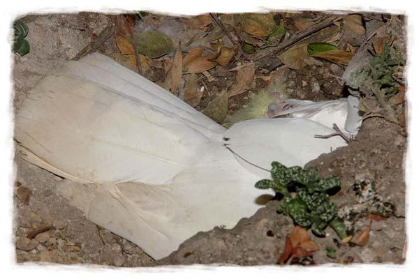 papagayo-blanco-crecimiento-cria-03