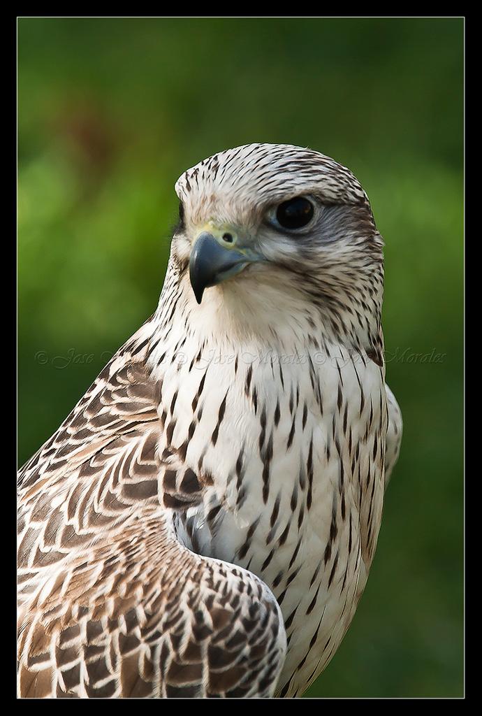 Halcon Gerifalte Falco rusticolus