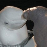 animales-bonitos-beluga-foca