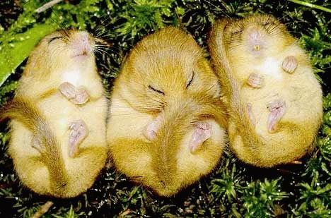 animales-bonitos-hamsters