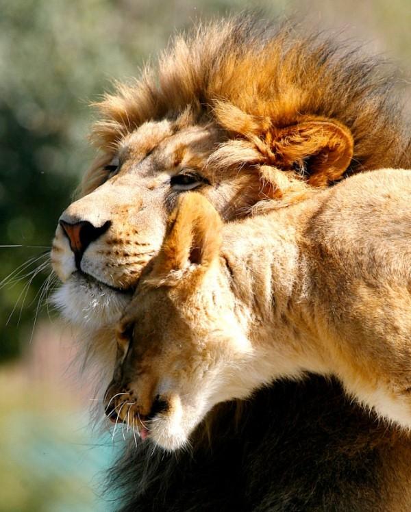 animales-bonitos-leon-leona