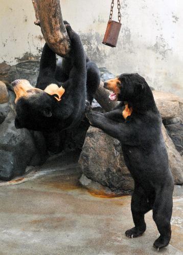 animales-bonitos-osos negros