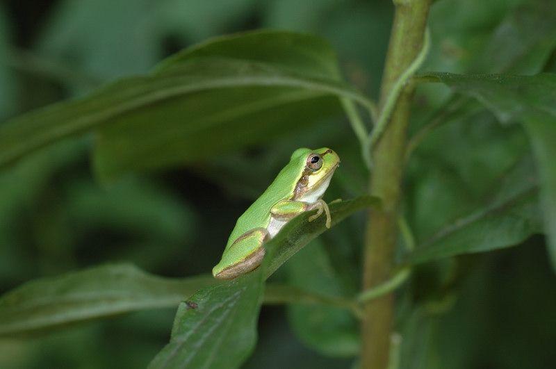 animales-bonitos-rana-verde