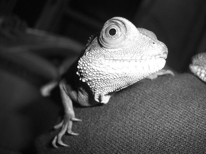 animales-graciosos-camaleon-miron