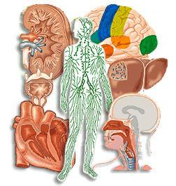 cuerpo-humano-partes-organos