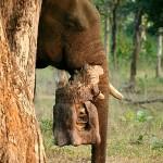 Ele-visión, los elefantes que filman animales