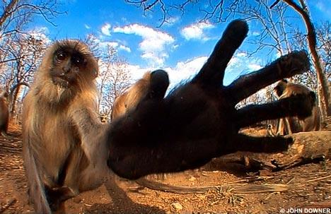 daily-mail-animales-filmados-john-downer-langur