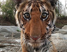 daily-mail-animales-filmados-john-downer-tiger_closeup