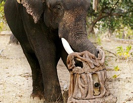 daily-mail-animales-filmados-john-downer-tigers_elephant