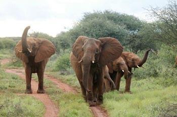elefantes-infrasonidos-africano