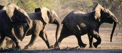 elefantes-infrasonidos-grandes-corriendo