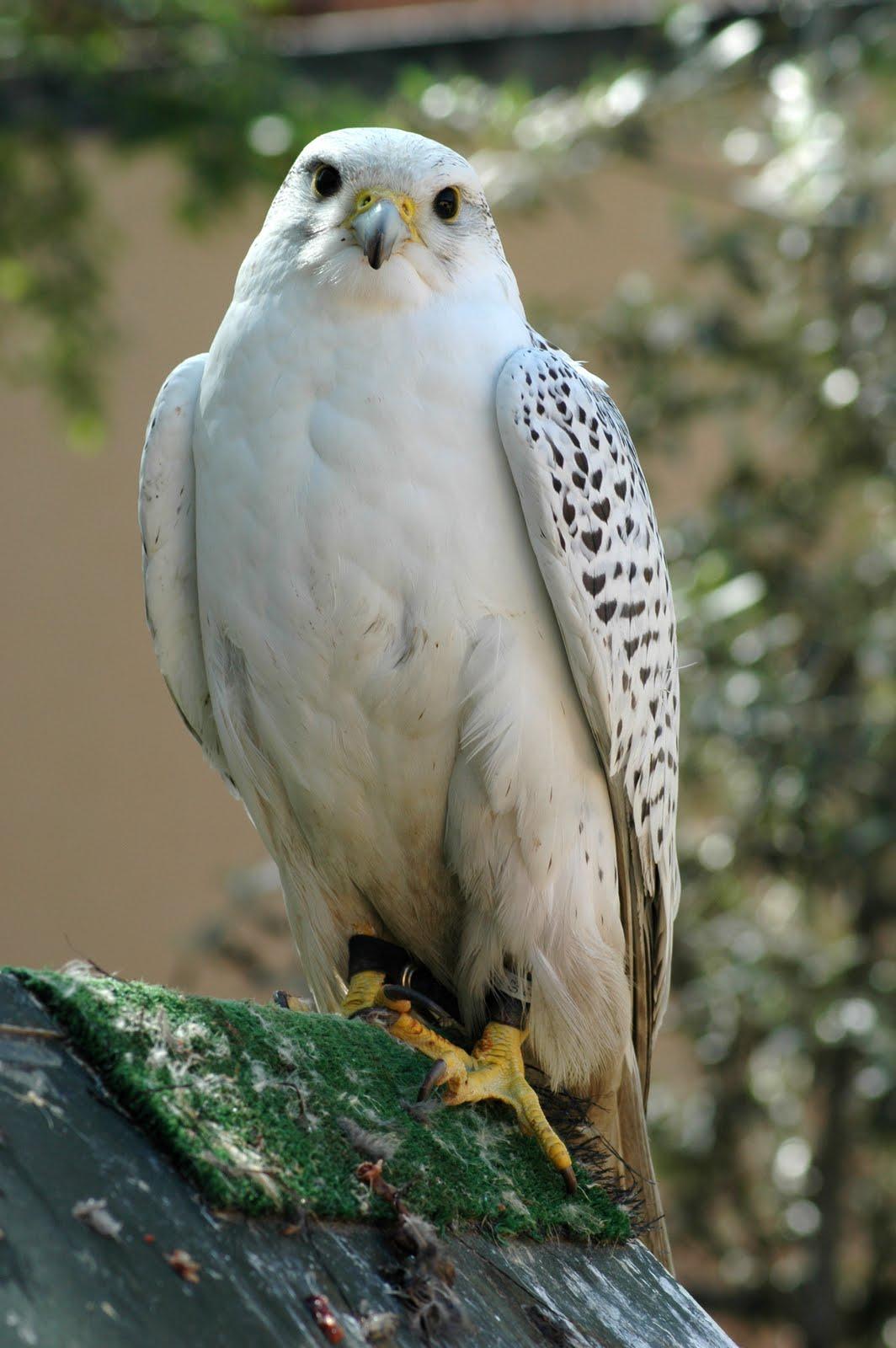 halcon gerifalte ave