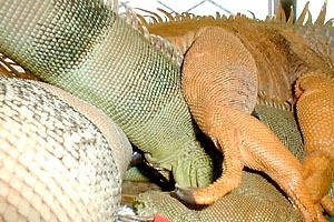 iguanas-hemipenes-pene-reproduccion-apareamiento-1