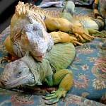 iguanas-hemipenes-pene-reproduccion-apareamiento