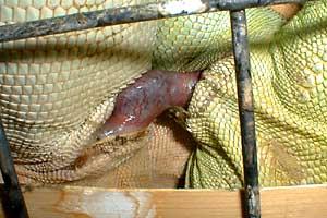 iguanas-hemipenes-pene-reproduccion-apareamiento-2