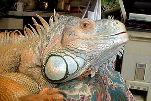iguanas-hemipenes-pene-reproduccion-cabeza