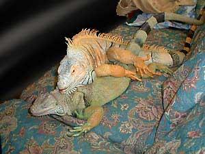 iguanas-hemipenes-pene-reproduccion-copula-1