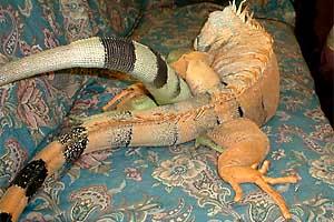 iguanas-hemipenes-pene-reproduccion-copula-2