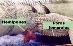 iguanas-hemipenes-pene-reproduccion-foto