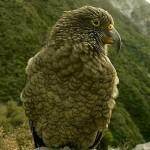 La inteligencia de los keas