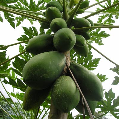 papaya-arbol-frutos-foto