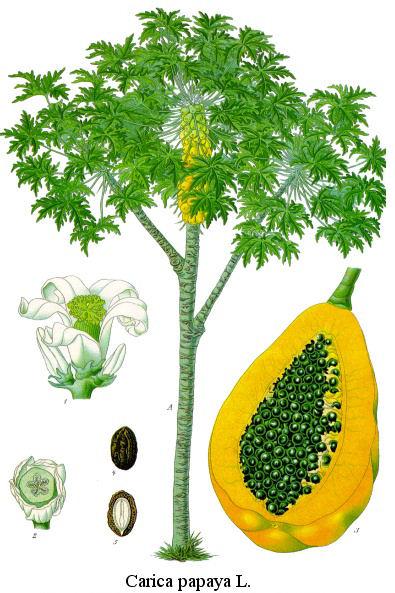 papaya-arbol-frutos
