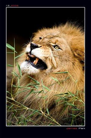 postales-naturaleza-leon-leones