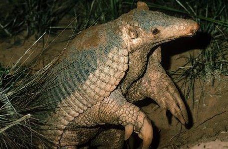 Priodontes giganteus armadillo gigante