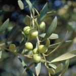aceituna olivo-Olea Europaea
