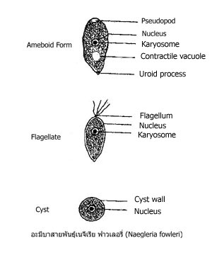 ameba-naegleria-fowleri
