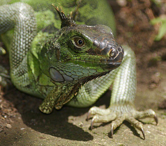 animales-bonitos-lagarto