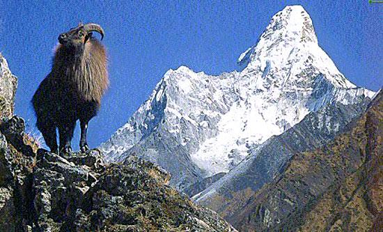 himalayan_thar Ama Dablam mountain