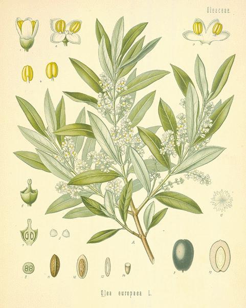 oliva aceituna Olea Europaea