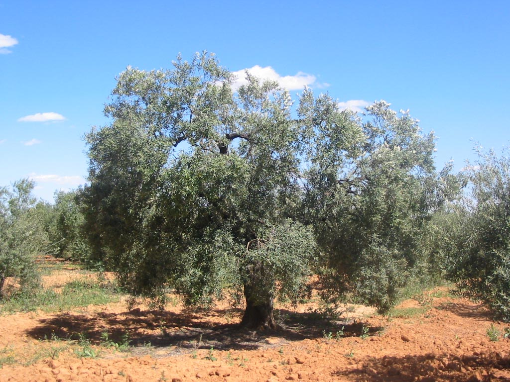 olivo arbol Olea Europaea