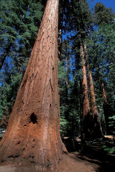 sequoia-genes-humanos-arbol