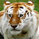 Imágenes de tigres dorados