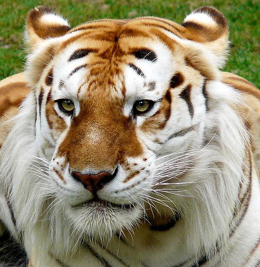 tigre dorado cinnamon tabby tiger