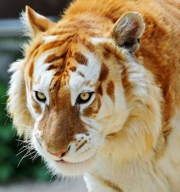 tigre dorado golden tabby tiger fur