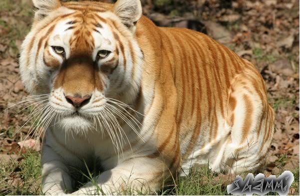 tigre dorado golden tabby tiger shammi