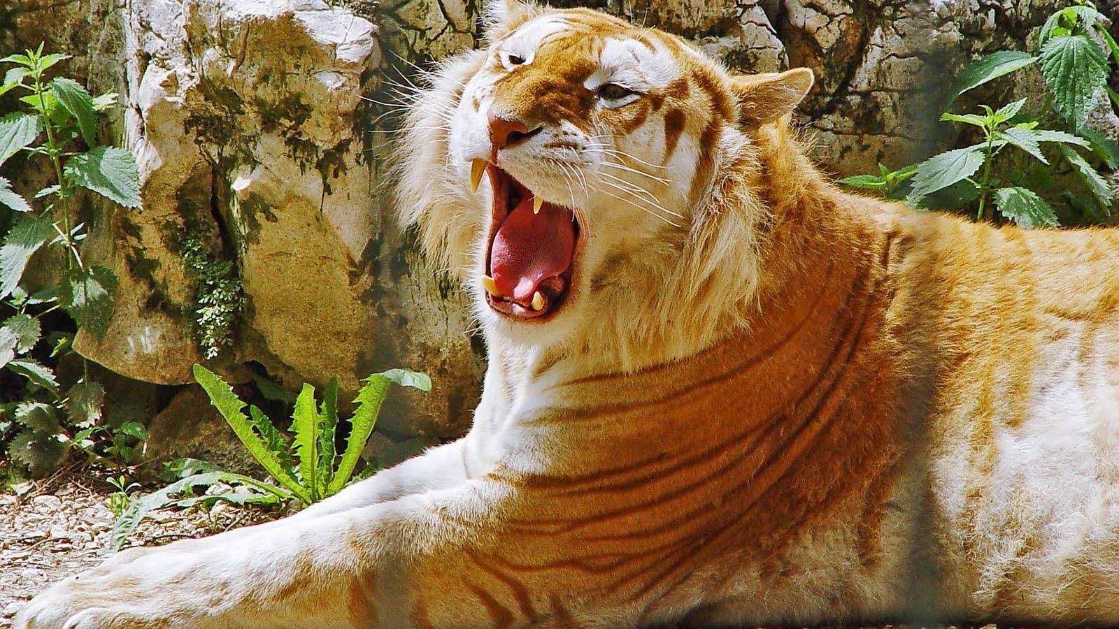 tigre dorado rayas amarillas gen