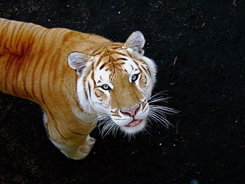 Golden Tiger Wallpaper Tigre-dorado-wallpaper-golden-