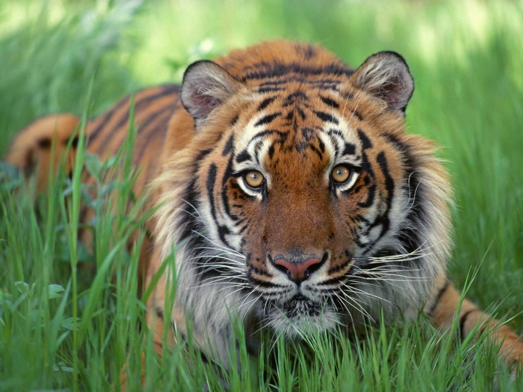wallpaper fondo escritorio tigre bengala bengal tiger