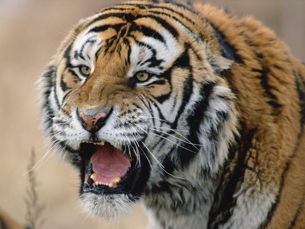 wallpaper fondo escritorio tigre siberiano siberian tiger