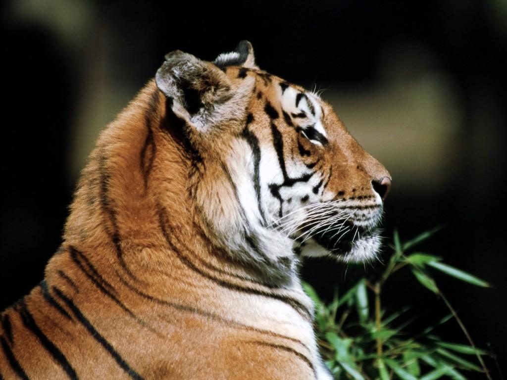 wallpapers fondos escritorio tigre tiger felino 1600 1200