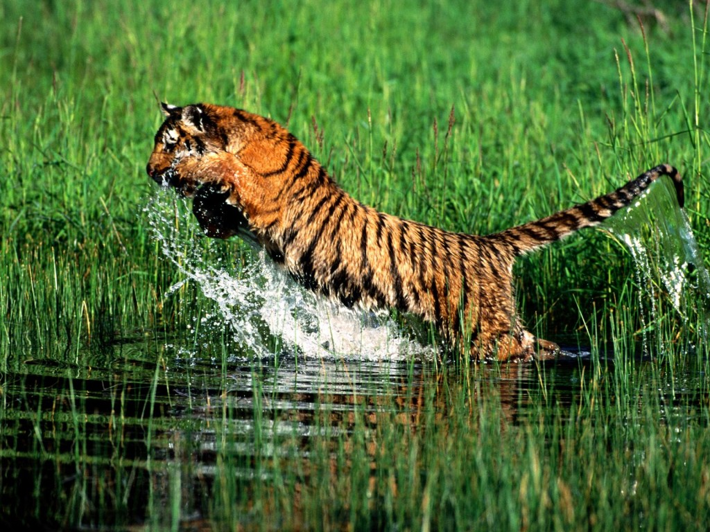 wallpapers fondos escritorio tigres tigers
