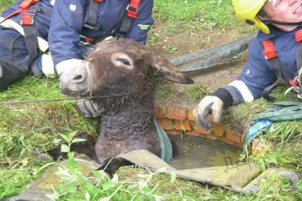 animales atrapados burro agujero