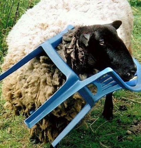 animales atrapados oveja silla
