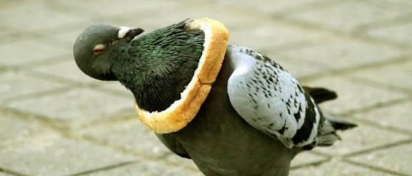 animales atrapados paloma pan