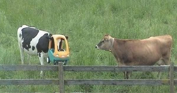 animales atrapados vaca cabeza atrapada